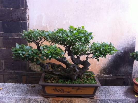 Revoir encore une fois les bonsaïs de la maison des Zhu...