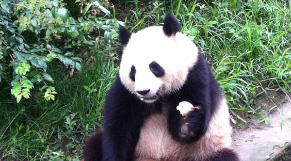 """Pandas, le """"trésor national"""" de la Chine"""