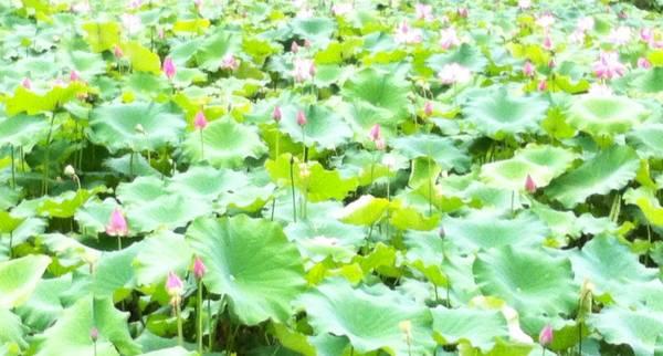 Merveilleux lotus...